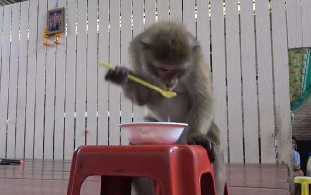 Macaco usa colher para beber leite de coco em tigela; veja o vídeo