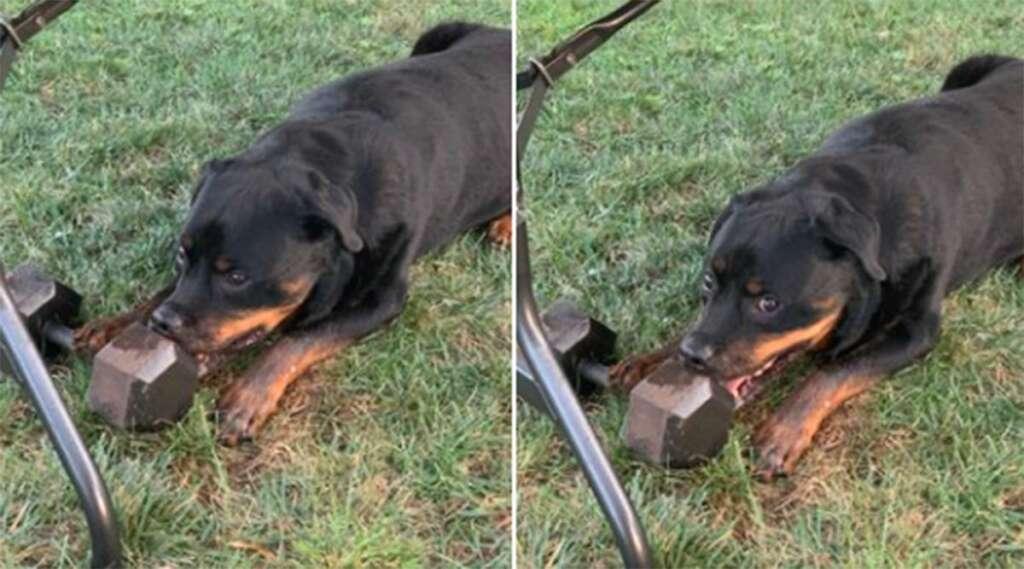 Cachorro carrega e brinca com peso de academia de 13kg